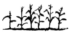 Ancient People - Village - Maize